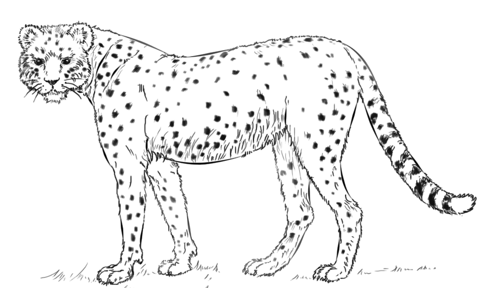 cheetah pictures to print printable cheetah coloring pages for kids cool2bkids to cheetah print pictures