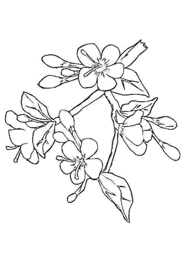 cherry blossom coloring pages cherry blossom coloring pages coloring home cherry pages blossom coloring