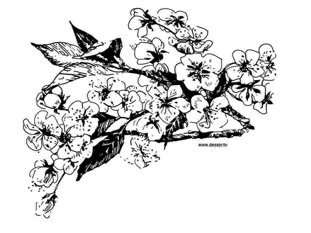 cherry blossom coloring pages coloring cherry blossom blossom coloring pages cherry