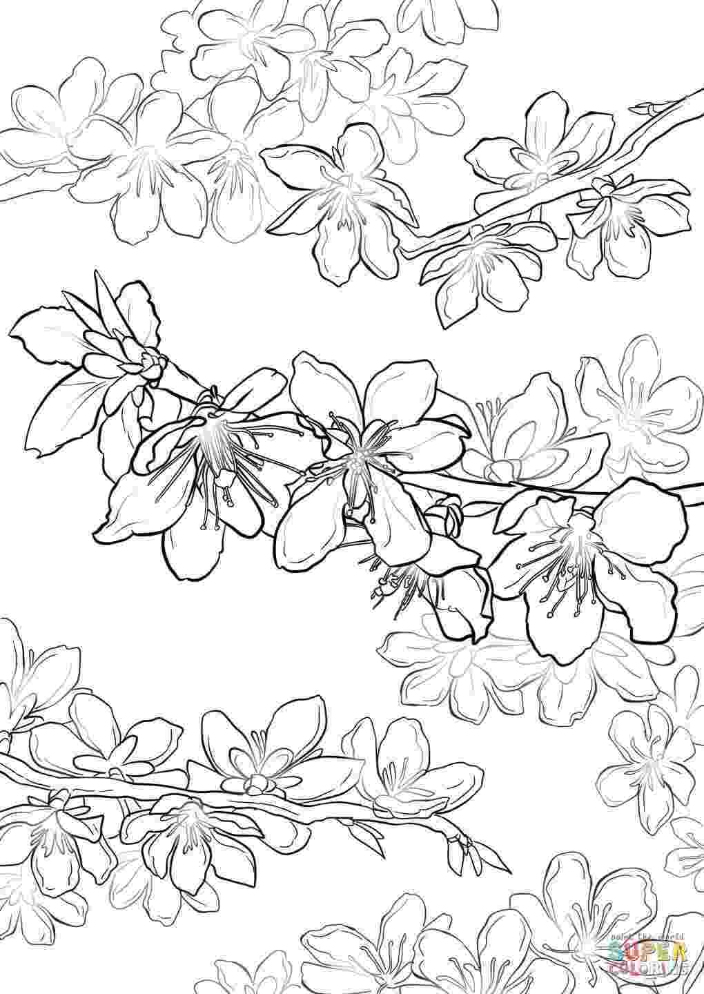 cherry blossom coloring pages japanese cherry blossoms drawing at getdrawingscom free cherry coloring pages blossom
