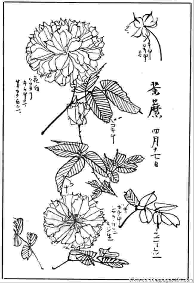 chrysanthemum coloring sheet chrysanthemum 4 coloring page supercoloringcom coloring sheet chrysanthemum