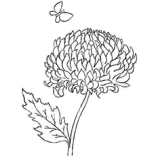 chrysanthemum coloring sheet chrysanthemums drawing at getdrawingscom free for coloring sheet chrysanthemum