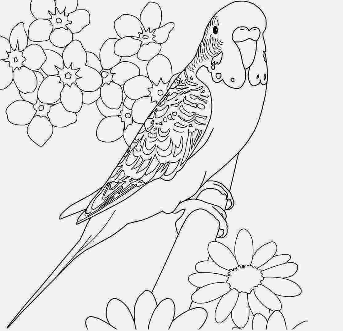 cockatiel coloring pages colours drawing wallpaper beautiful bird parrot coloring cockatiel pages coloring