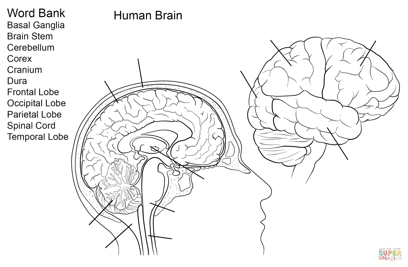 color pictures of the brain brain anatomy coloring pages at getcoloringscom free of color pictures the brain