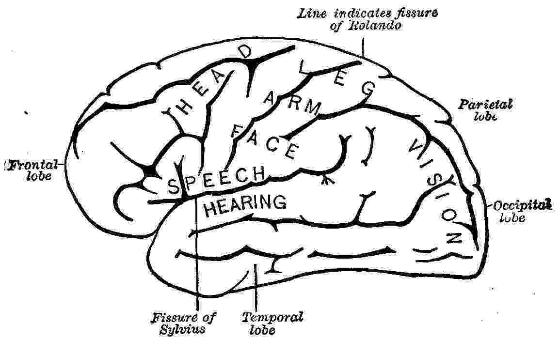 color pictures of the brain brain clipart coloring pages to print color brain pictures of the