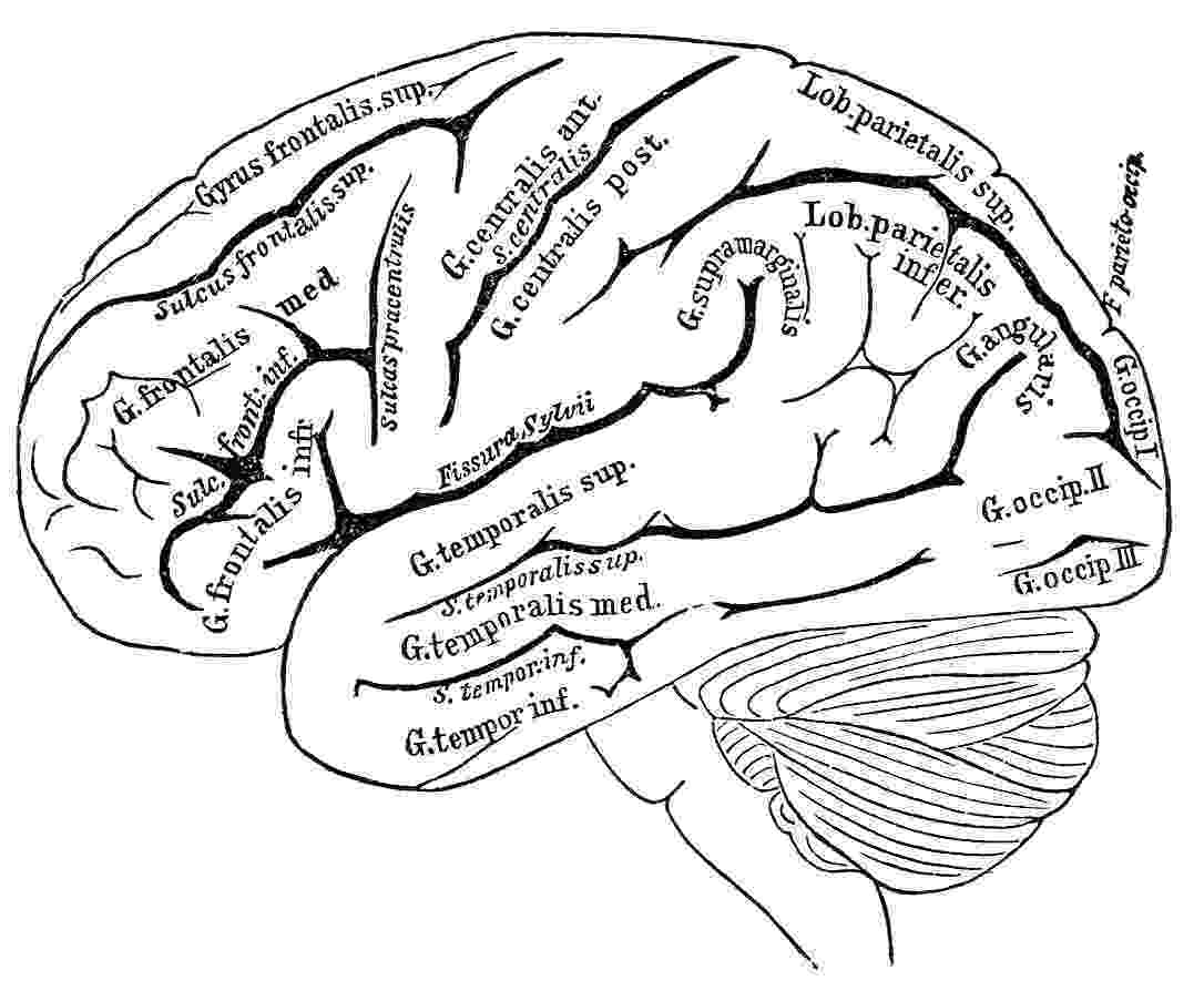color pictures of the brain image result for free human anatomy coloring pages pdf the pictures color of brain