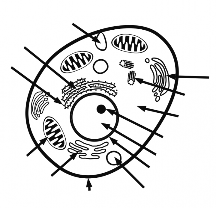 coloring animal cell diagram animal cell coloring pages magna cell structures and diagram cell animal coloring