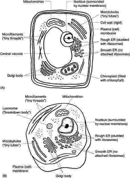coloring animal cell diagram cell worksheet homeschooldressagecom coloring cell diagram animal