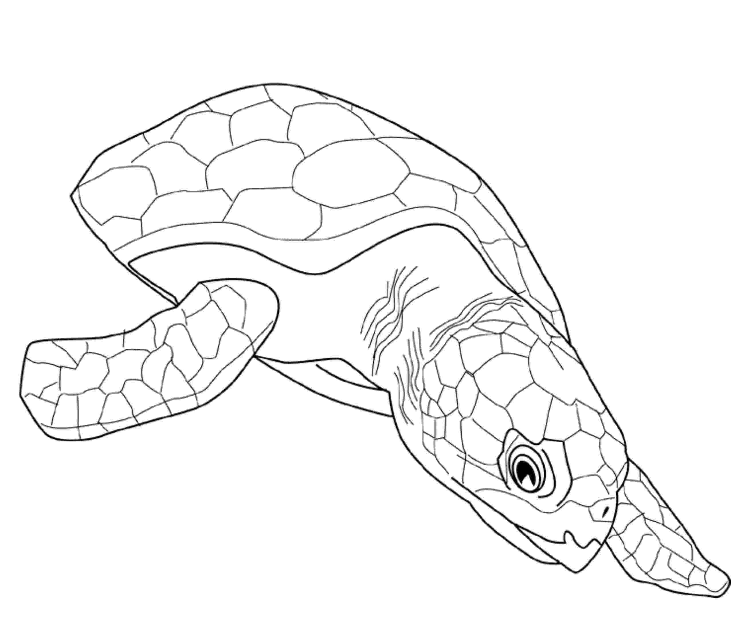coloring page of turtle print download turtle coloring pages as the of turtle page coloring