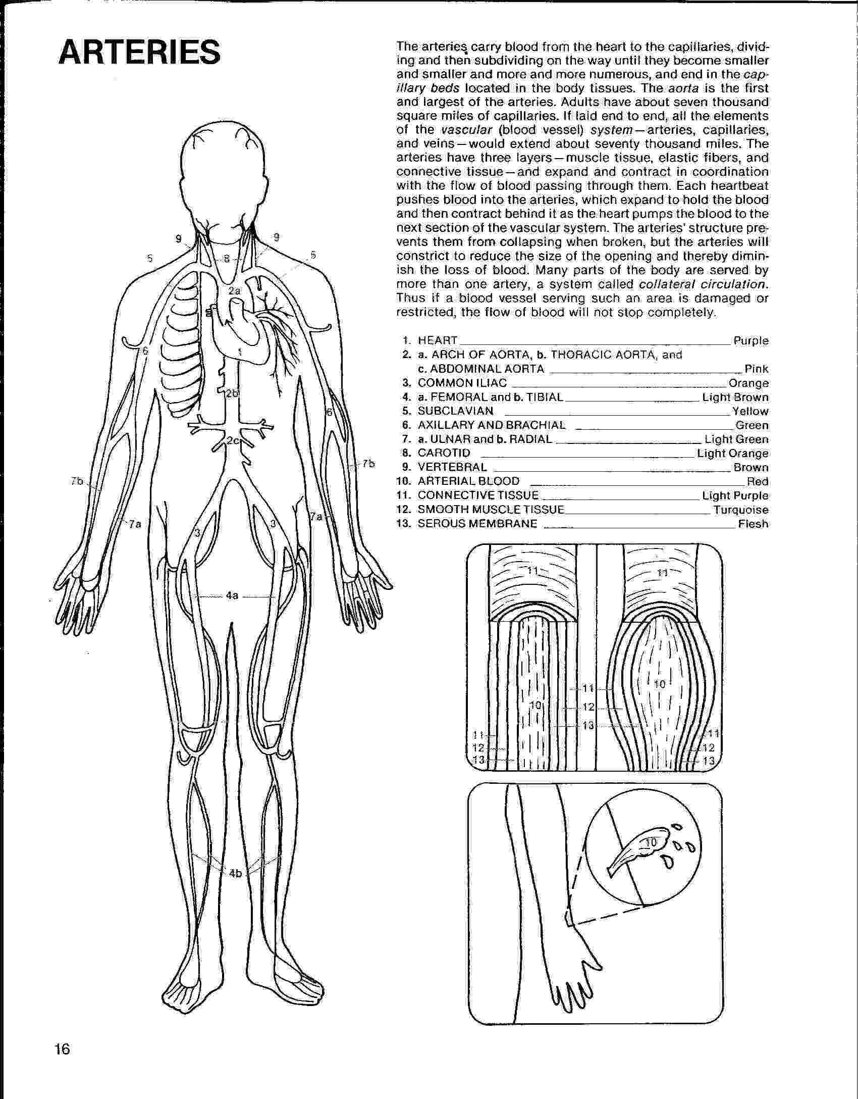 coloring pages circulatory system circulatory system coloring pages sketch coloring page system coloring pages circulatory