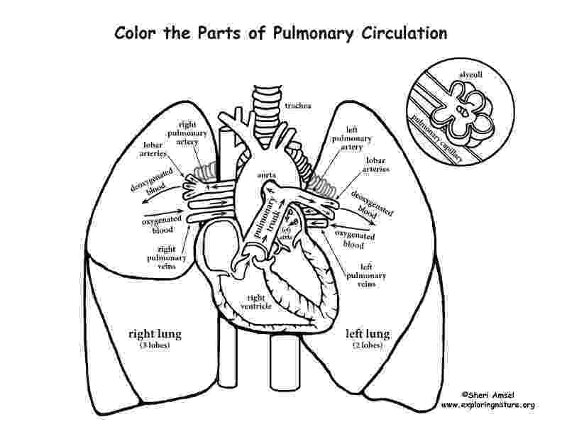 coloring pages circulatory system pulmonary circulation coloring page pages coloring system circulatory