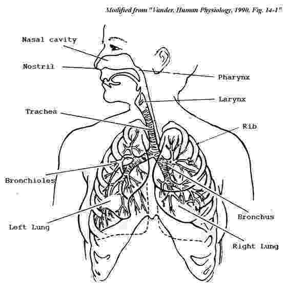 coloring pages circulatory system respiratory system coloring page cc3 classical system pages coloring circulatory