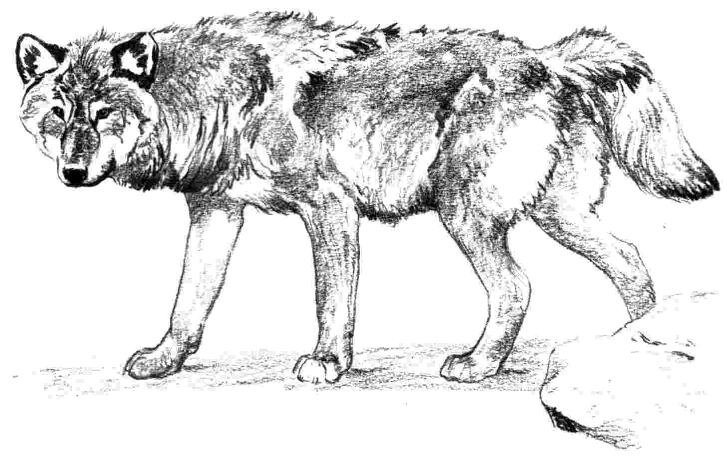 coloring pages of a wolf wolf coloring pages 360coloringpages coloring a wolf pages of