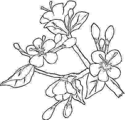coloring pages of dogwood flowers dogwood coloring download dogwood coloring for free 2019 of dogwood pages flowers coloring