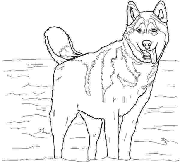 coloring pages of huskies husky coloring pages best coloring pages for kids pages of huskies coloring