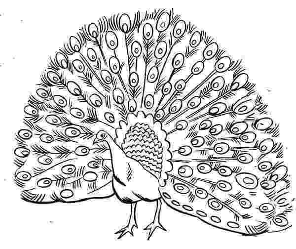 colouring picture of peacock bird peacock coloring pages free printable coloring pages peacock colouring of picture