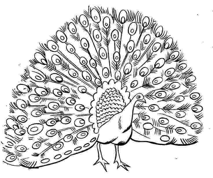 colouring picture of peacock pretty peacock coloring page peacock coloring pages picture peacock of colouring
