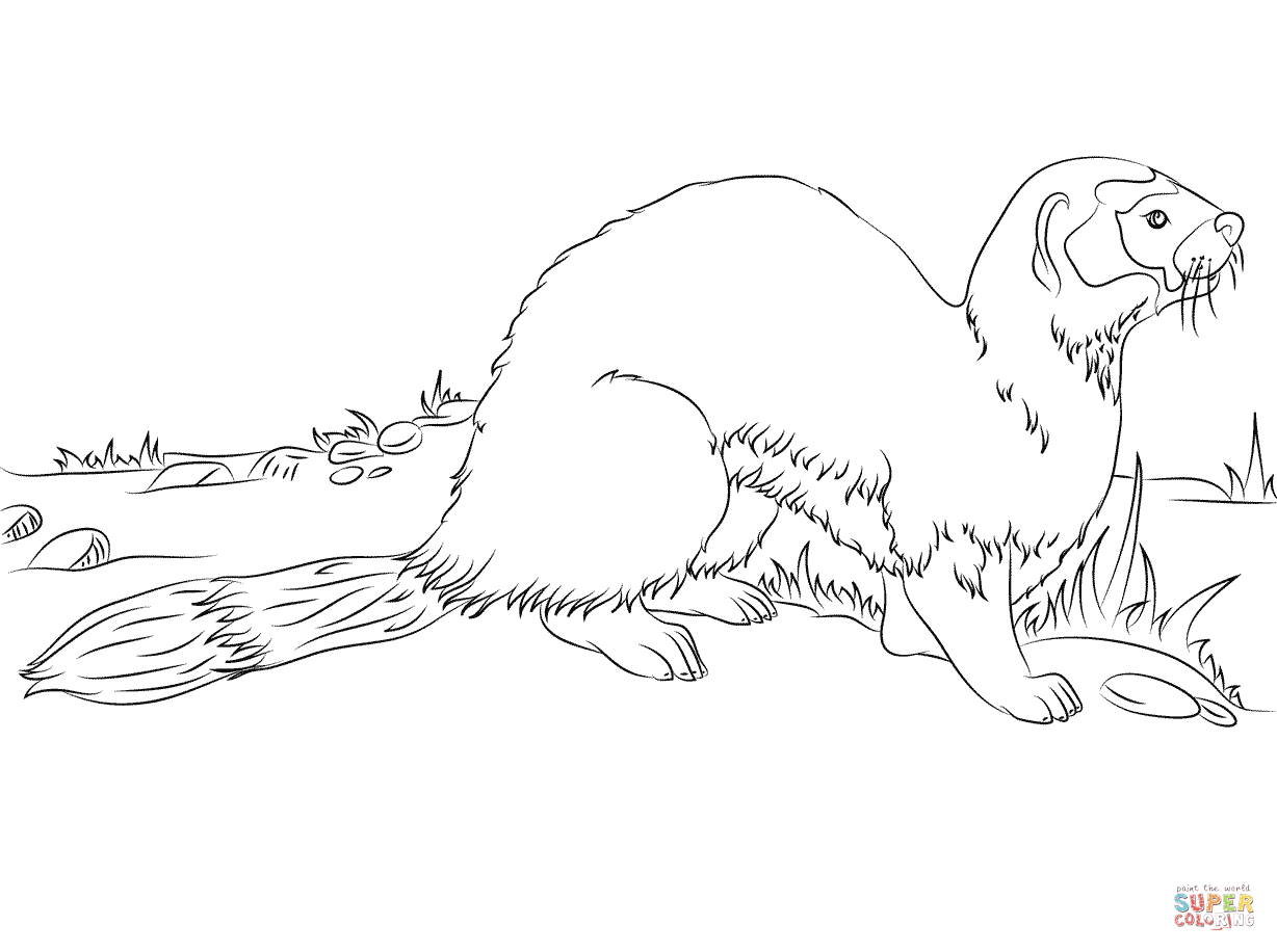 ermine color ermine coloring page free printable coloring pages ermine color