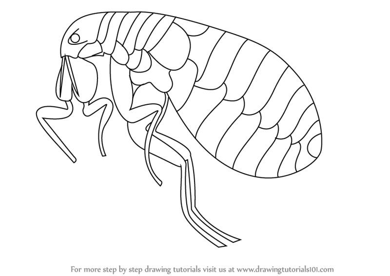 flea coloring page learn how to draw a flea insects step by step drawing coloring page flea