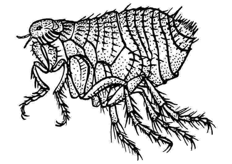flea coloring page objects colouring pages kiddicolour page flea coloring