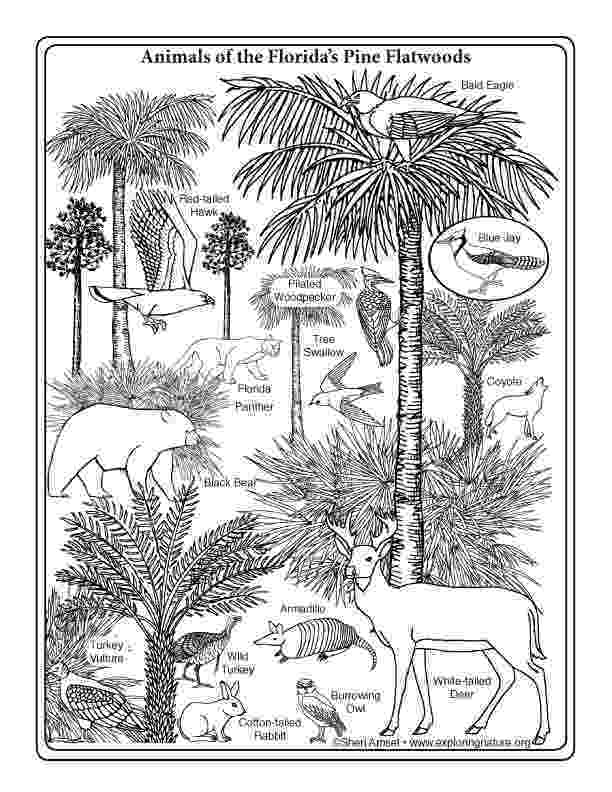 florida coloring page florida pine flatwoods wildlife coloring page florida coloring