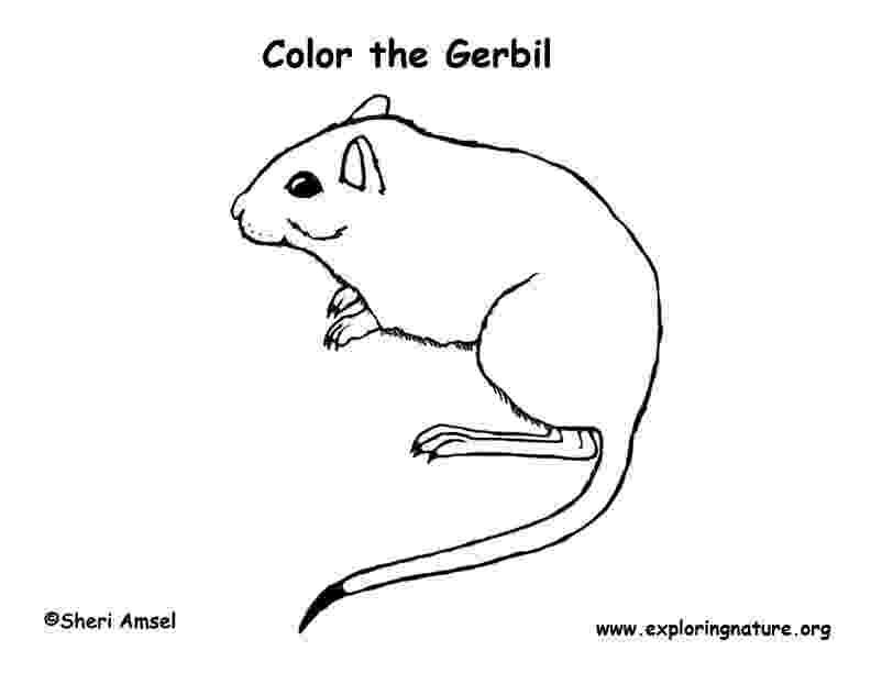 gerbil coloring pages gerbil coloring pages coloring pages gerbil pages coloring