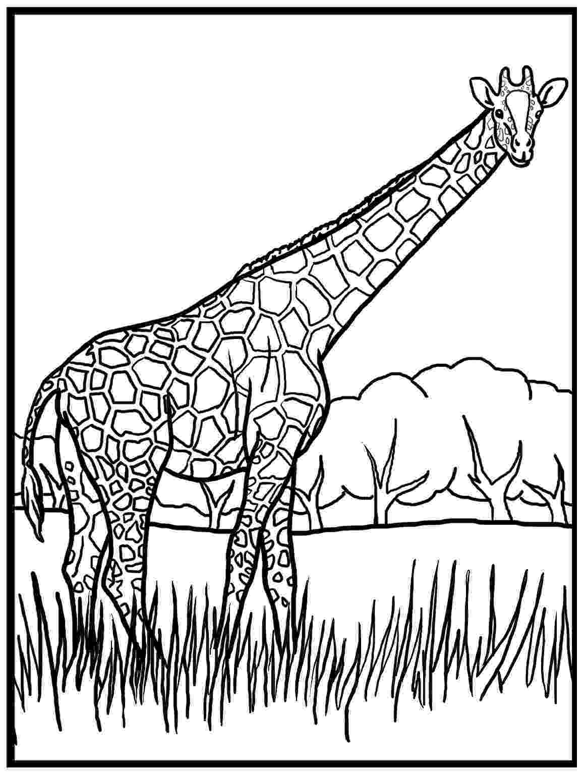 giraffe to color nice tall giraffe coloring page wecoloringpage giraffe to color giraffe