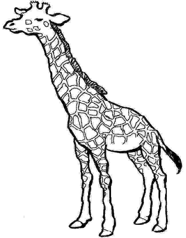 giraffe to color realistic giraffe coloring page free printable coloring to color giraffe