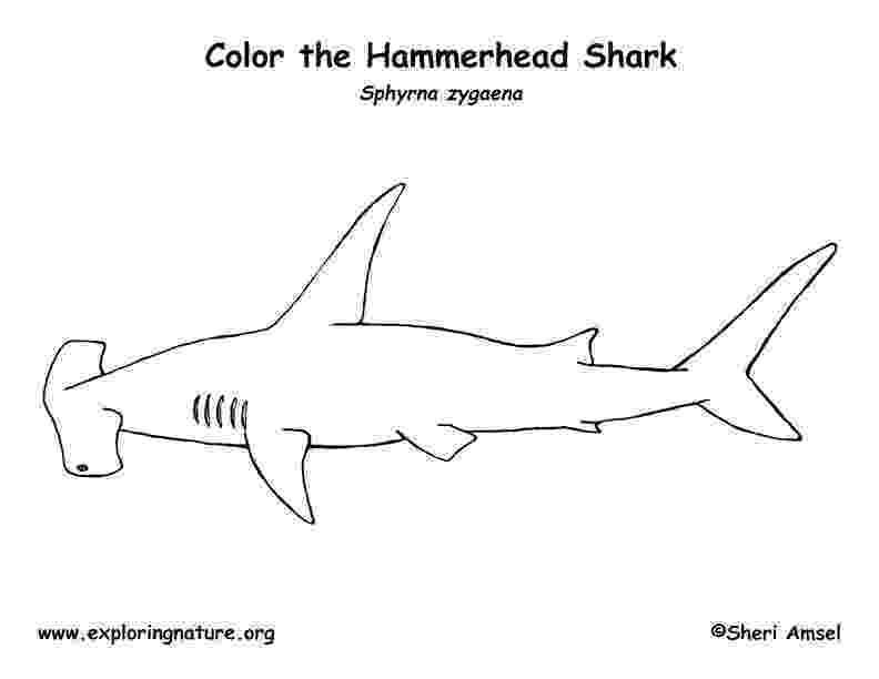 hammerhead shark color great hammerhead shark coloring page supercoloringcom shark color hammerhead