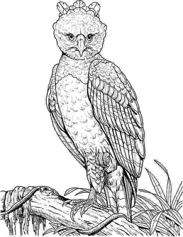 harpy eagle coloring page harpy eagle coloring page sketch coloring page eagle page coloring harpy