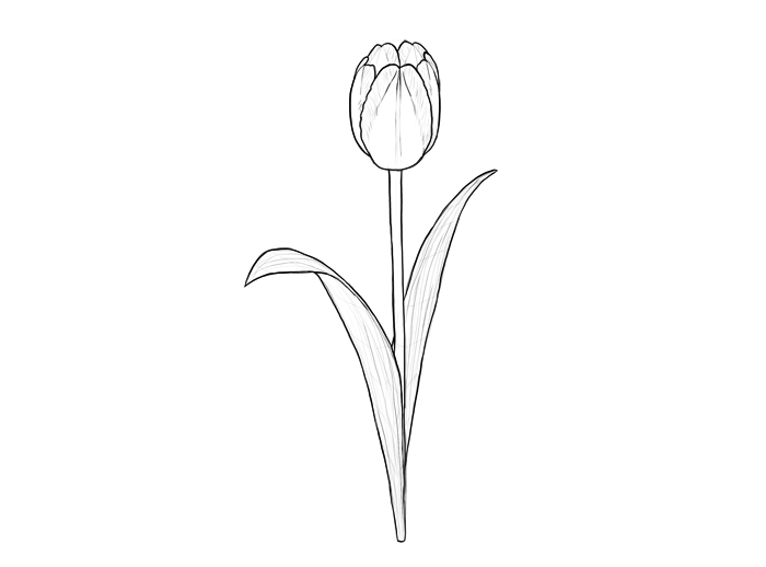 how to sketch a tulip how to draw a tulip drawingforallnet to sketch how tulip a