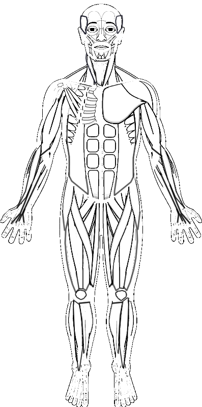 human muscles coloring human muscles coloring human coloring muscles