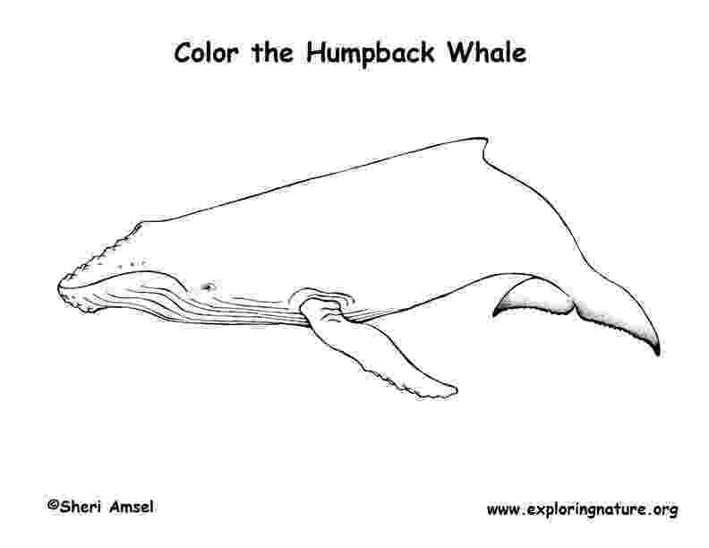 humpback whale pictures to color whale coloring pages humpback to color whale pictures