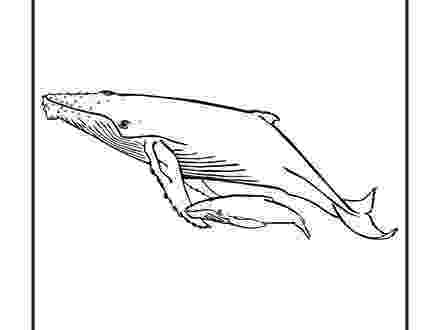 humpback whale pictures to color whale shark coloring page at getcoloringscom free to color pictures whale humpback