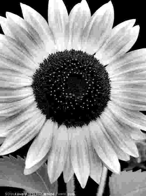 kansas state flower free printable coloring pagestate birds and flowers flower kansas state