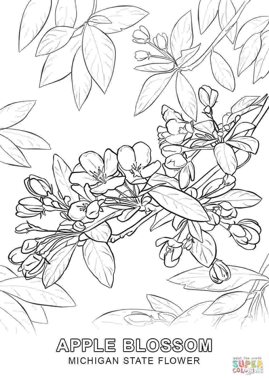 kansas state flower kansas crayolacomau kansas flower state