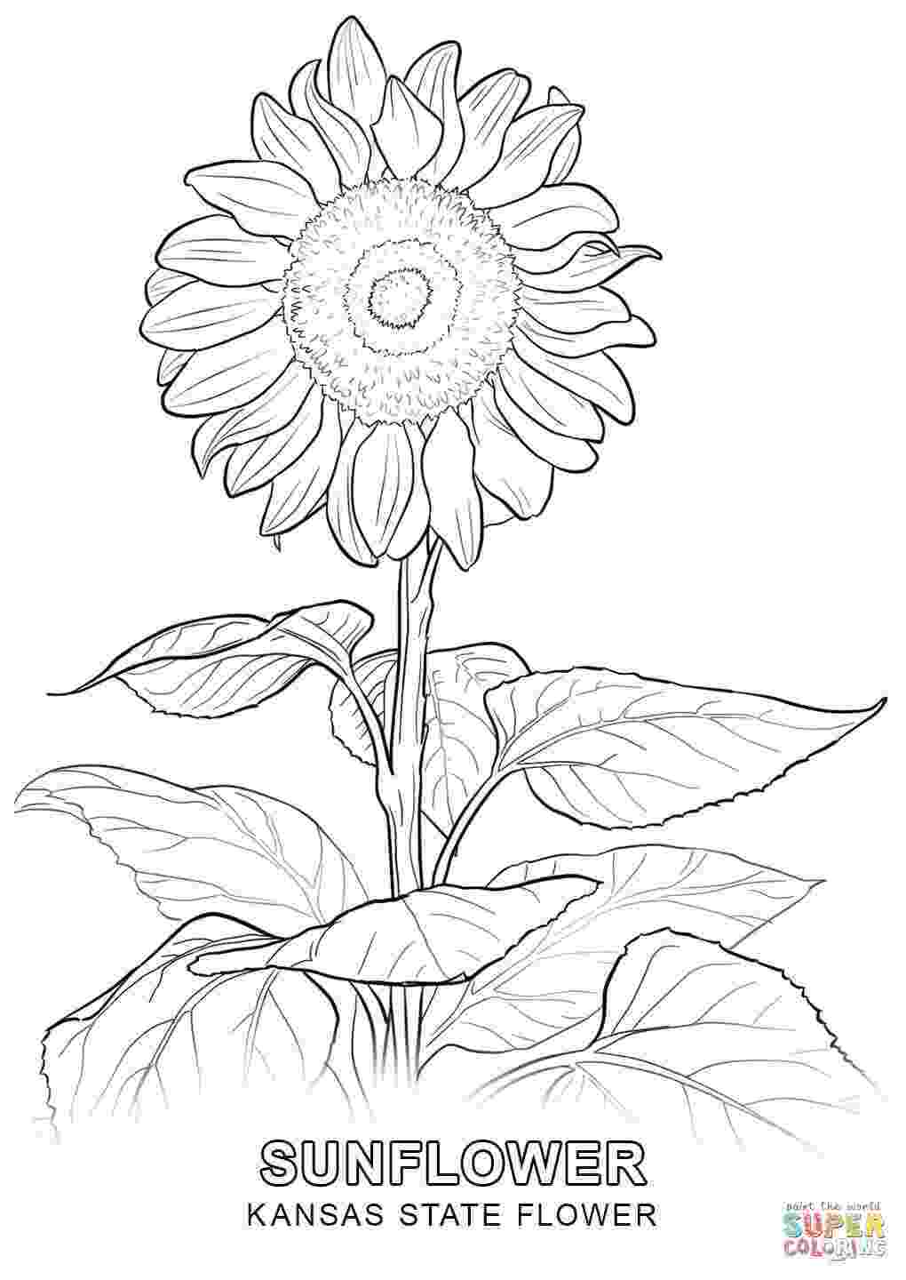 kansas state flower kentucky coloring pages printables kentucky state kansas flower state