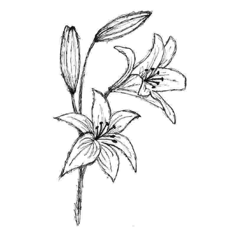 lily sketch calla lily drawing calla lily pencil sketch drawing sketch lily