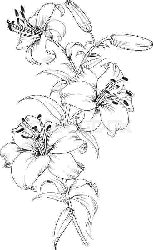 lily sketch climbing lily facts and health benefits lily sketch
