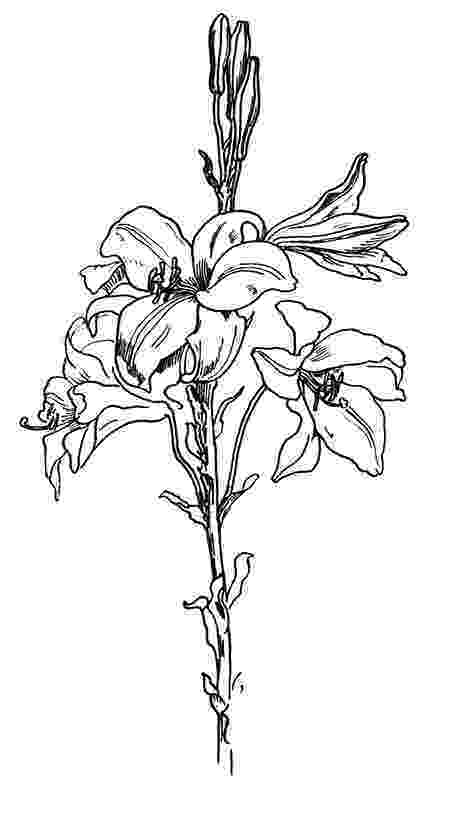 lily sketch flower sketches sketch lily