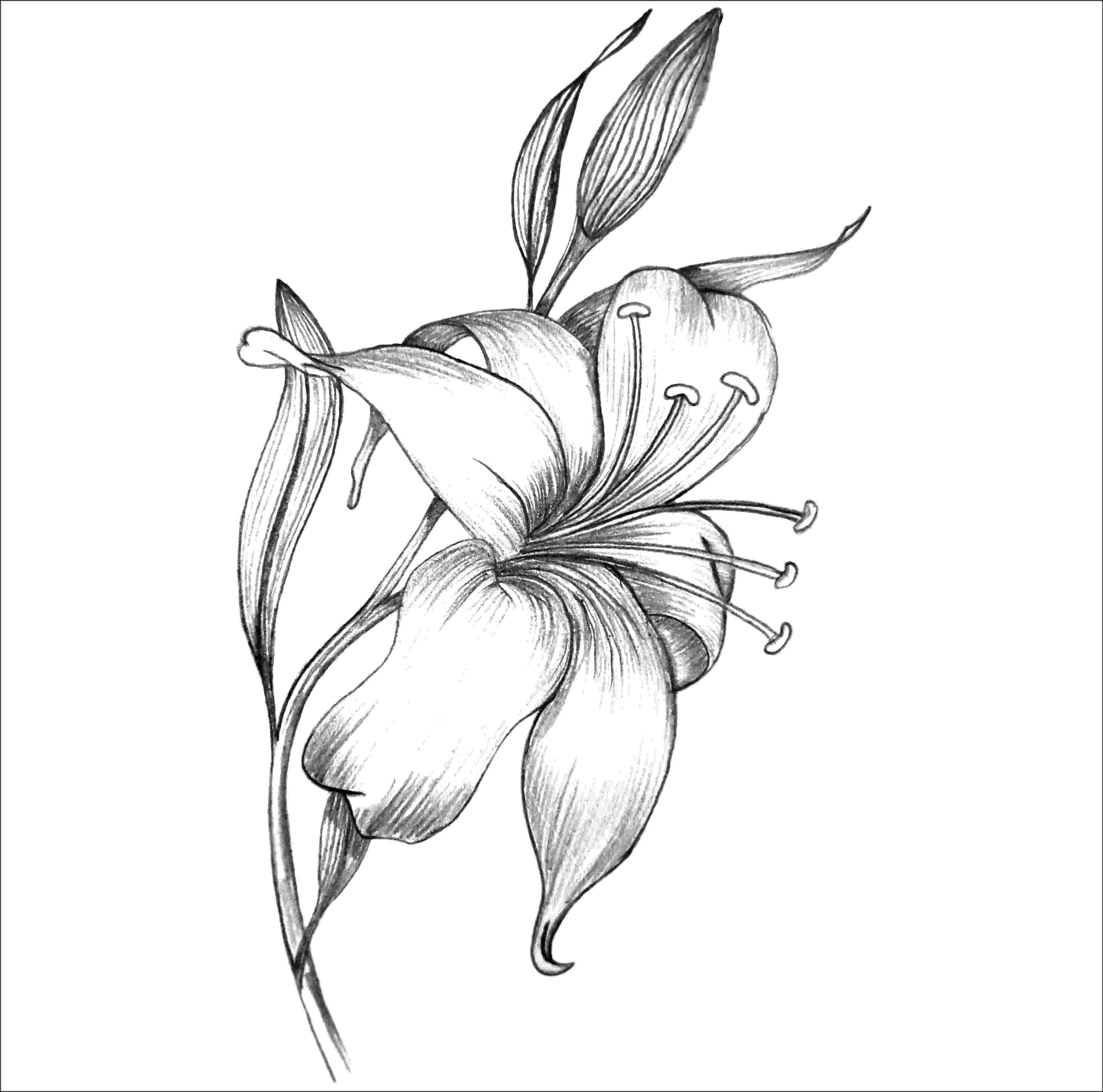 lily sketch how to draw a lily in a few easy steps easy drawing guides lily sketch 1 1