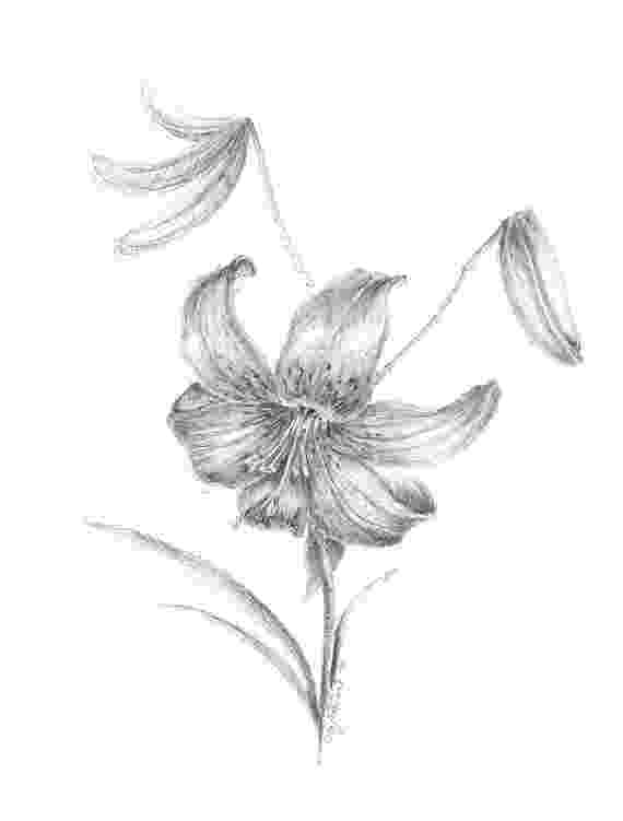 lily sketch items similar to tiger lily flower drawing garden plants lily sketch