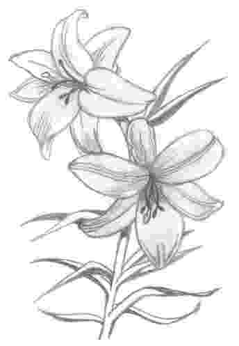 lily sketch lily flowers drawings flowers madonna lily by syris sketch lily