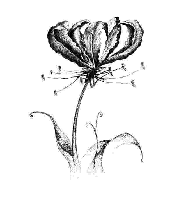 lily sketch stargazer lily sketch at paintingvalleycom explore sketch lily