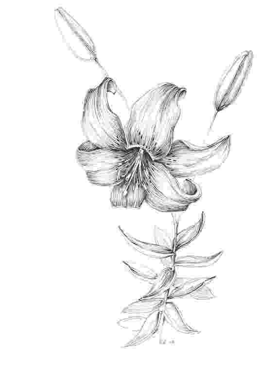 lily sketch tiger lily art print pen and ink flower sketch floral sketch lily