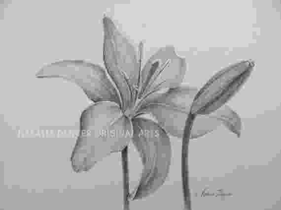 lily sketch water lily on tumblr sketch lily