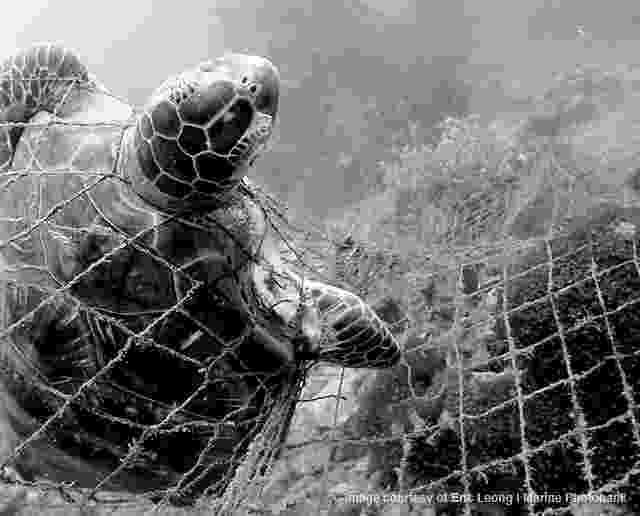 lion trapped in a net a sea turtle stuck in a trawling net the turtle will be in a lion trapped net
