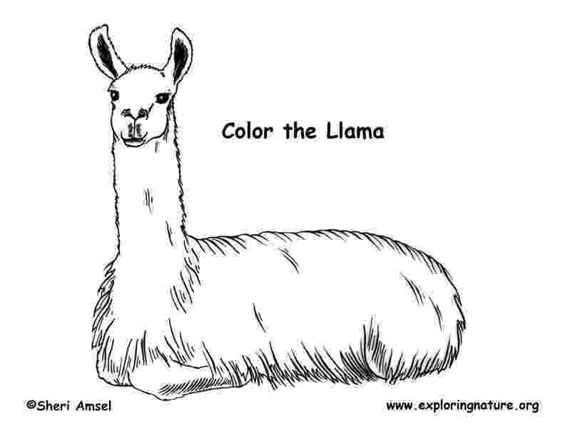llama coloring pages llama coloring page pages coloring llama