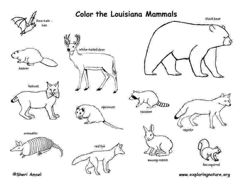 mammals coloring pages louisiana habitats mammals birds amphibians reptiles coloring mammals pages