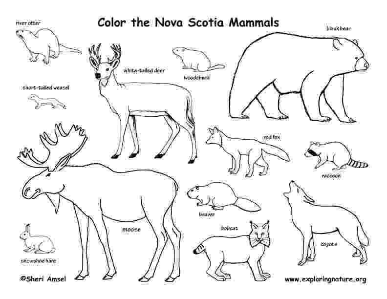 mammals coloring pages zebras horses rhinos tapirs odd toed hooved mammals mammals coloring pages